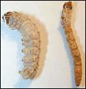 sod-webworms
